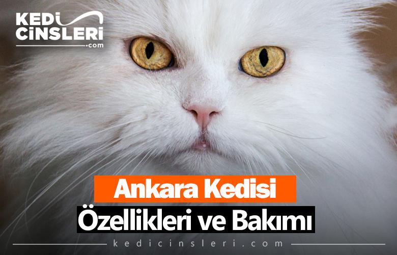 Ankara Kedisi Özellikleri ve Bakımı