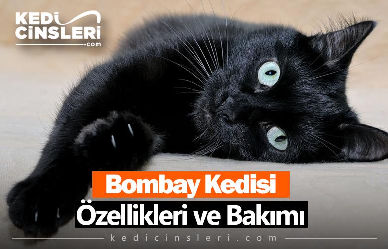 Bombay Kedisi Özellikleri ve Bakımı