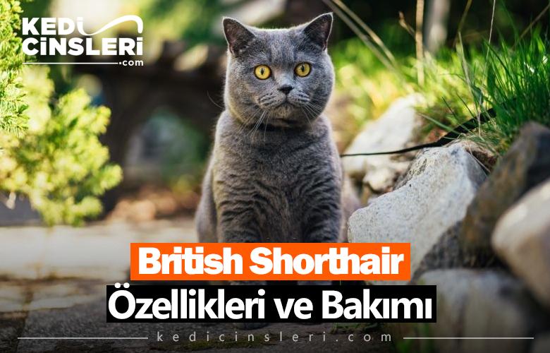 British Shorthair Özellikleri ve Bakımı