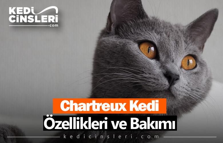 Chartreux Kedi Özellikleri ve Bakımı