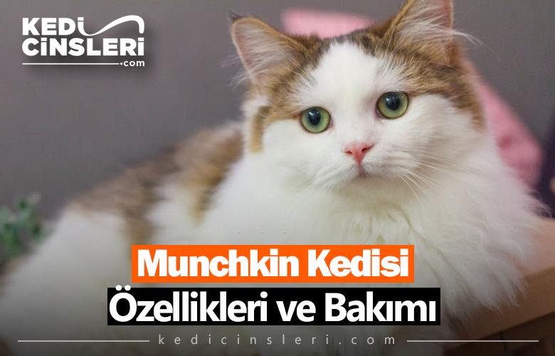 Munchkin Kedisi Özellikleri ve Bakımı