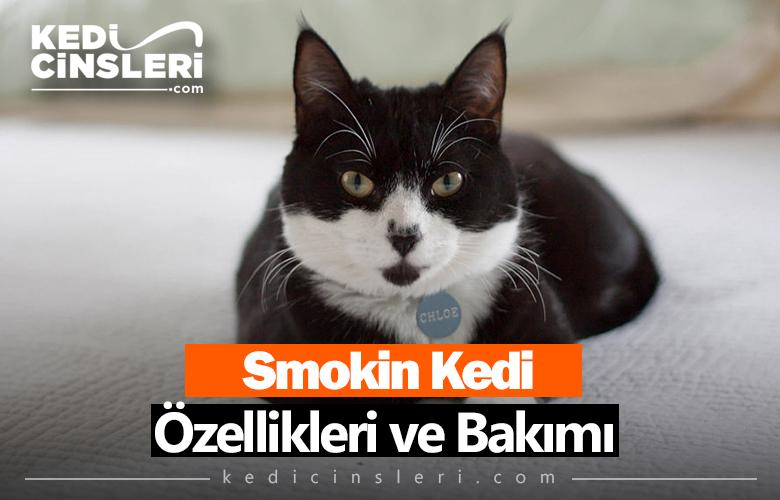 Smokin Kedi Özellikleri ve Bakımı