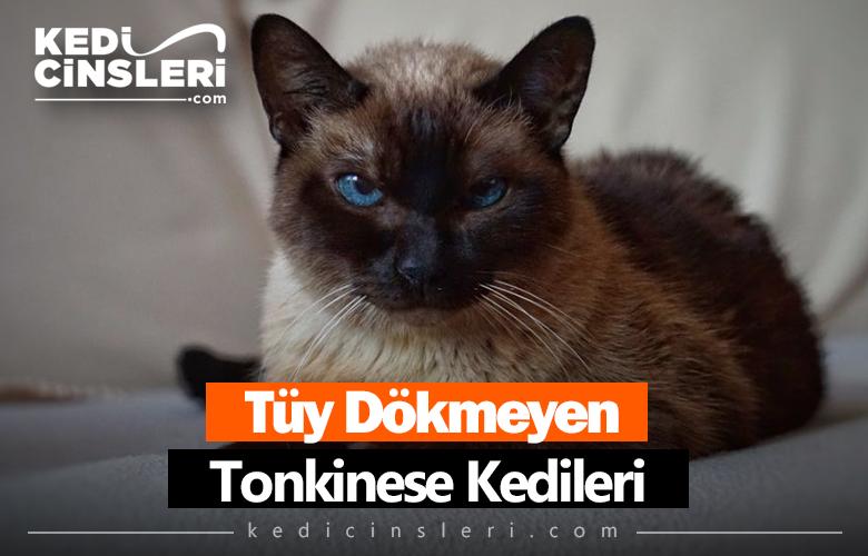 Tonkinese Kedileri