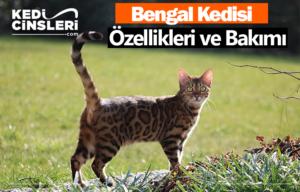 bengal kedisi özellikleri ve bakımı