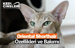oriental shorthair kedisi